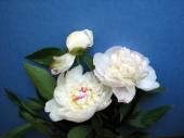 新鲜的白牡丹花朵 — 图库照片
