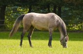 Arab horse grazing — Stockfoto