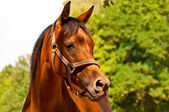 Brown - chestnut Arab horse — Stockfoto