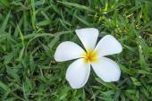 White plumeria flower on grass — Stock Photo