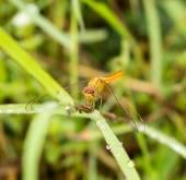 Dragonfly outdoor (coleopteres splendens) — Stock Photo