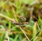 Vážka venkovní (coleopteres splendens) — Stock fotografie
