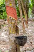 Milk rubber tree — Foto de Stock