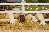 Pecora in fattoria — Foto Stock