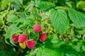 Ripe raspberries on the bush  — Stock Photo