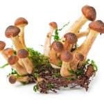 ������, ������: Honey fungus