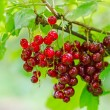 Red currant berry on the bush — Stock Photo #56753921