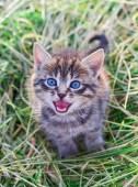 Mewing gray striped kitten — Stock Photo