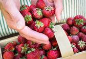 Farmer's hands pouring organic strawberries into basket — Stok fotoğraf