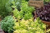 Herbs in pots — Stock Photo