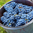 Bucket full of grapes in a winery — Stock Photo #63071207