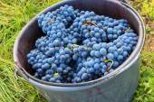 Bucket full of grapes in a winery — Stock Photo