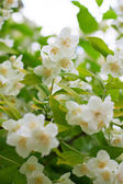Branch of beautiful white jasmine flowers — Stock Photo