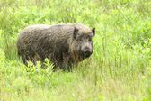 Fat wild boar — Stock Photo