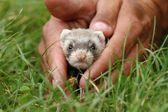 Adorable polecat — Stock Photo