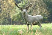 White deer male — Stock Photo