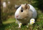Adorable cochon d'Inde — Photo