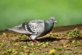 Pigeon in park — Stock Photo