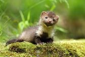 Marten on moss — Stock Photo