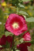 Healing Alcea rosea — Stock Photo