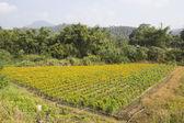 Calendula marigold field — Stock Photo