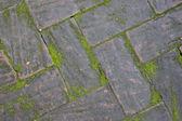 Moss growing between brick pavement — Stock Photo