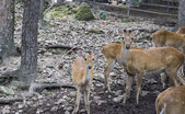 Male and female deer in the zoo — Stock Photo