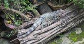 The iguana — Stock Photo