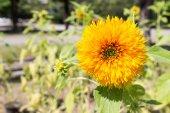 Blooming sunflower flower  — Stock Photo