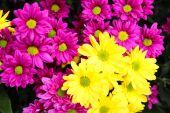 Purple and yellow Chrysanthemum flower  — Stock Photo