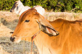 Cow in rice paddy field — Stock Photo