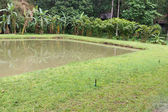 The pond with the banana tree at waterside — Стоковое фото