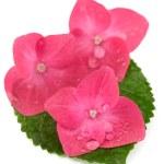 Hortensia hydrangea pink flower on white background — Stock Photo #53751235
