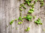 Lush green vines growing on side of weathered old concrete wall — Stock Photo