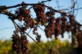 Arid grape — Stock Photo