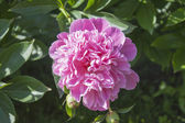 Georgeous peony in a full bloom. — Stock Photo
