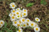 Small chamomile flowers — Stock Photo