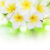 Blooming frangipani — Stok fotoğraf