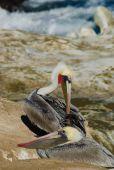Brown Pelican Preening — Stock Photo