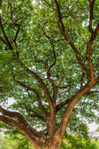 Great tree top creating a lush shade  — Stockfoto
