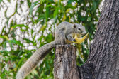 Grey Squirrel eating piece of fruit on the tree — Stock Photo