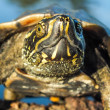 ������, ������: Closeup of a swamp baby turtle reptile head is looking up and showing facial expression fearlessly It is a animal documentary