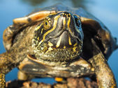Closeup of a swamp baby turtle reptile head is looking up and showing facial expression fearlessly. It is a animal documentary. — Stock Photo