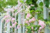Pink Confederate vine blooming in the garden — ストック写真