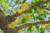 Star gooseberry on tree — Stock Photo