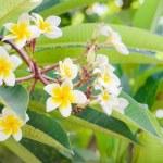Frangipani, Plumeria blooming, Templetree.  — Stock Photo #56930139