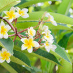 Frangipani, Plumeria blooming, Templetree.  — Stock Photo #57176071