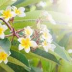Frangipani, Plumeria blooming, Templetree.  — Stock Photo #57596271