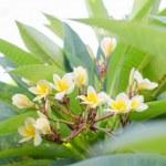 Frangipani, Plumeria blooming, Templetree.  — Stock Photo #57596293