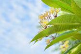 Kwitnący kwiat Frangipani biały — Zdjęcie stockowe